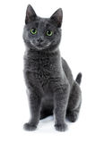 Russian blue kitten. Three month old russian blue kitten Stock Photos