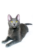 Russian Blue kitten. A Russian blue kitten smiling at the camera. Isolated on white Royalty Free Stock Photo