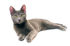 Russian Blue kitten. A Russian blue kitten isolated on white Royalty Free Stock Photos