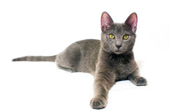 Russian Blue kitten. A Russian blue kitten isolated on white Stock Image