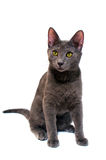 Russian Blue kitten. A Russian blue kitten isolated on white Stock Photos