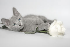 Russian blue kitten. And rose Royalty Free Stock Photography