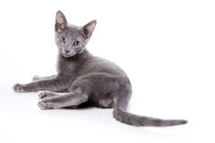 Russian blue kitten. On white background Royalty Free Stock Photos