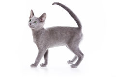 Russian blue kitten. On white background Royalty Free Stock Photo