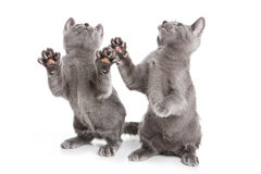 Russian Blue kitten. On white Stock Images