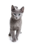 Russian Blue kitten. On white Stock Image
