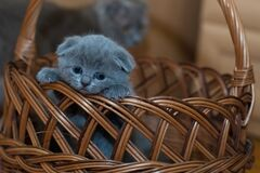 Russian Blue Kitten on Brown Woven Basket Royalty Free Stock Image