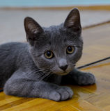 Russian Blue Kitten. Charming Russian blue kitten relaxing on the floor Royalty Free Stock Photos