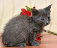 Russian blue kitten. And Christmas flower Stock Photos