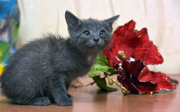 Russian blue kitten. And Christmas flower Stock Images