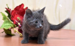 Russian blue kitten. And Christmas flower Royalty Free Stock Photos