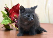 Russian blue kitten. And Christmas flower Stock Photo