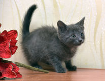 Russian blue kitten. And Christmas flower Stock Photography