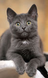 Russian blue kitten Stock Photography