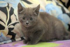 Russian blue kitten Stock Photography