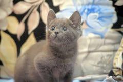 Russian blue kitten Royalty Free Stock Photo