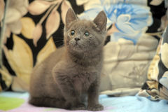 Russian blue kitten. On the couch Stock Photography