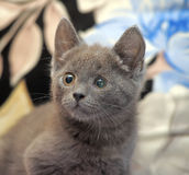 Russian blue kitten. On the couch Royalty Free Stock Photo