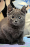 Russian blue kitten. On the couch Stock Images