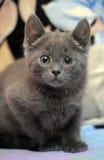 Russian blue kitten Stock Images