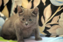 Russian blue kitten. On the couch Royalty Free Stock Image