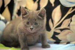 Russian blue kitten Royalty Free Stock Image