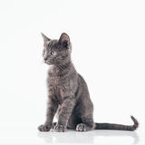 Russian Blue Kitten. Cute Russian Blue kitten isolated on white Royalty Free Stock Images