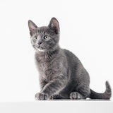 Russian Blue Kitten. Cute Russian Blue kitten isolated on white Royalty Free Stock Photography