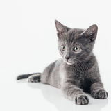 Russian Blue Kitten. Cute Russian Blue kitten isolated on white Stock Images