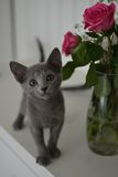 Russian Blue kitten with roses. Russian Blue kitten with pink roses Stock Photo