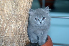 Russian blue Stock Photos