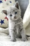Russian Blue kitten. With stars Royalty Free Stock Photos