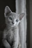 Russian Blue kitten. Young Russian Blue kitten dreaming Stock Photography