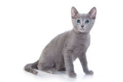 Russian Blue kittens Royalty Free Stock Photography