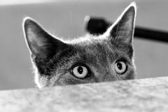 Russian blue looking over counter Royalty Free Stock Photo