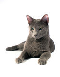 Russian Blue male Royalty Free Stock Photo