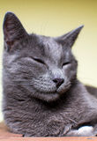 Russian Blue sleeping cat Stock Images