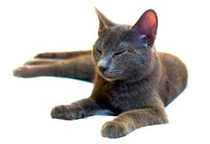 Russian Blue sleeping cat Stock Photo