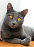 Russian Blue - Smiling cat Stock Photos