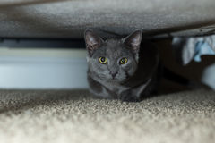 Russian blue under bed Stock Photos