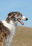 Russian borzoi. Portrait of a thoroughbred dog Stock Photo