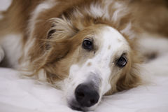 Russian borzoi Royalty Free Stock Image