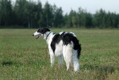 Russian borzoi Royalty Free Stock Photography