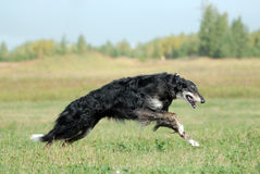 Russian borzoi. Borzoi running on the grass Stock Images