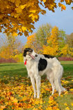 Russian borzoi. Black and white russian borzoi standing on yellow autumn leaves Stock Photography