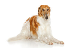 Russian borzoi dog. In front of white background Stock Image