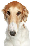 Russian Borzoi dog. Head profile close-up portrait. On a white background Stock Images