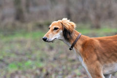 Russian borzoi dog Royalty Free Stock Image