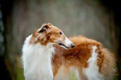 Russian Borzoi. Dog n autumn forest Royalty Free Stock Photos