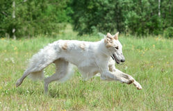 Russian borzoi dog running Stock Images